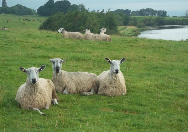 England sheep